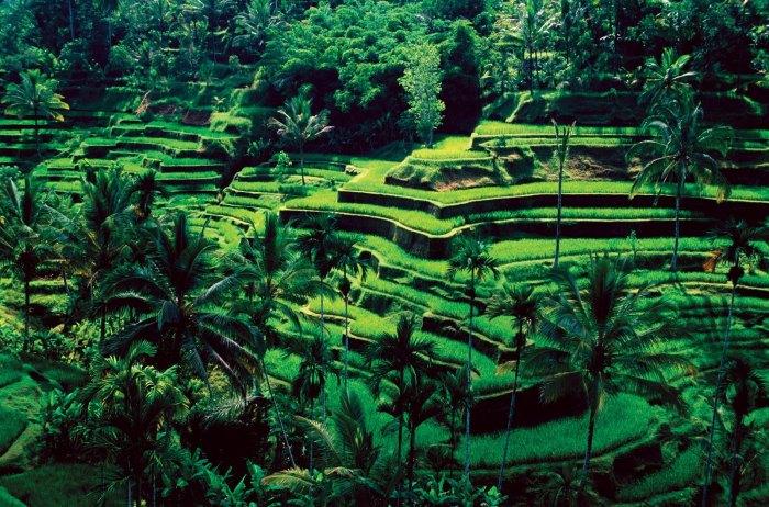 Bali-Ubud-rice-fields1